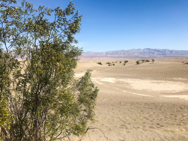 Only creosote bushes seem to grow in the Sand Dunes in Death Valley
